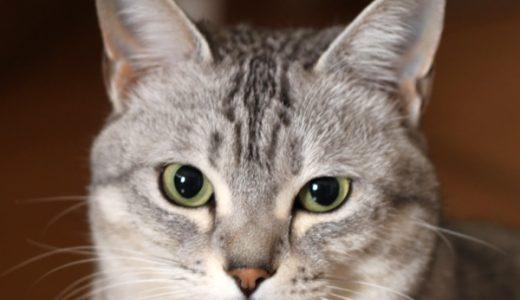 4猫次女チーのプロフィール
