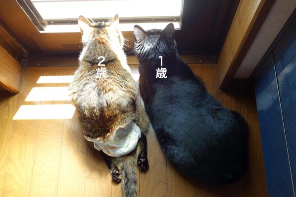 マロンとジジのサイズ差