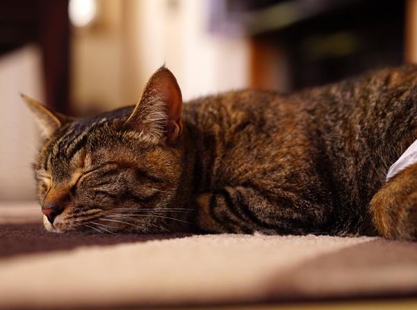 マロンは絨毯の上でお昼寝中