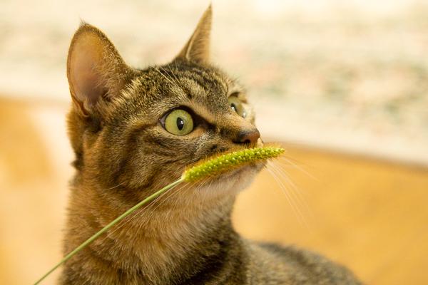リアル猫じゃらし「エノコログサ」で遊ぶマロン