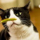 リアル猫じゃらし「エノコログサ」で遊ぶキキ