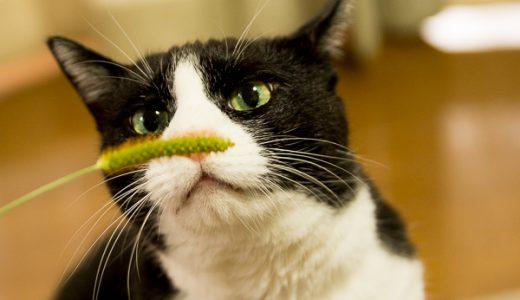 リアル猫じゃらし「エノコログサ」は猫が食べてもOKだって