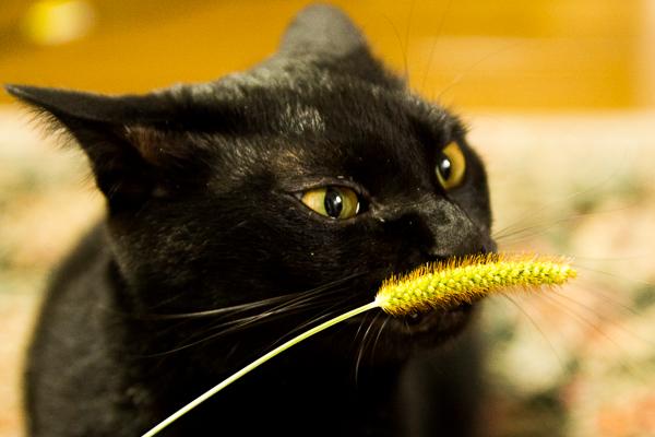 リアル猫じゃらし「エノコログサ」で遊ぶジジも