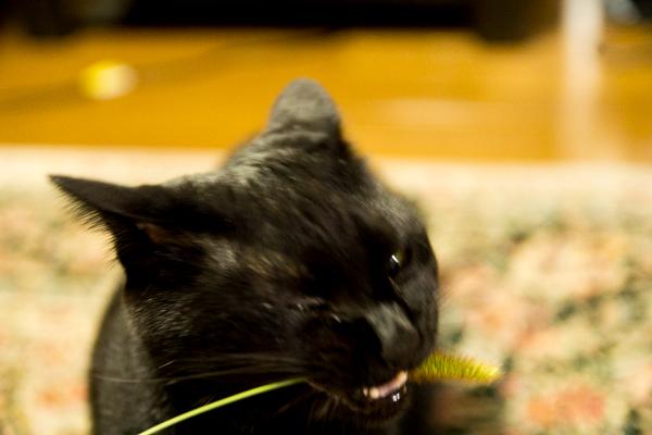 リアル猫じゃらし「エノコログサ」を食べるジジ