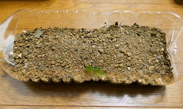 猫草はペットボトルで育てます