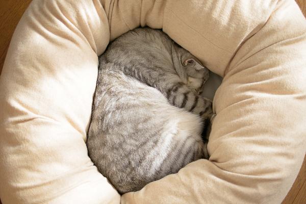 ミュッターの犬用ベッドに入るようになったうちの猫チー