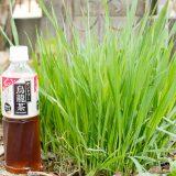 種から育てた猫草を庭に植えたら・・・