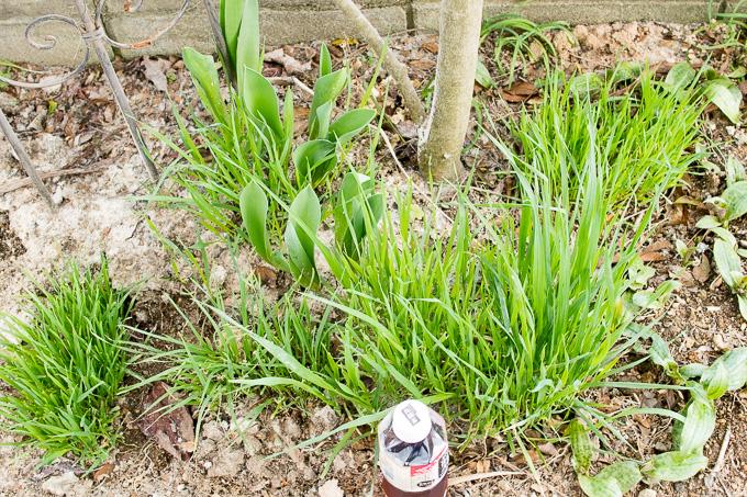 自宅の庭の猫草エリア